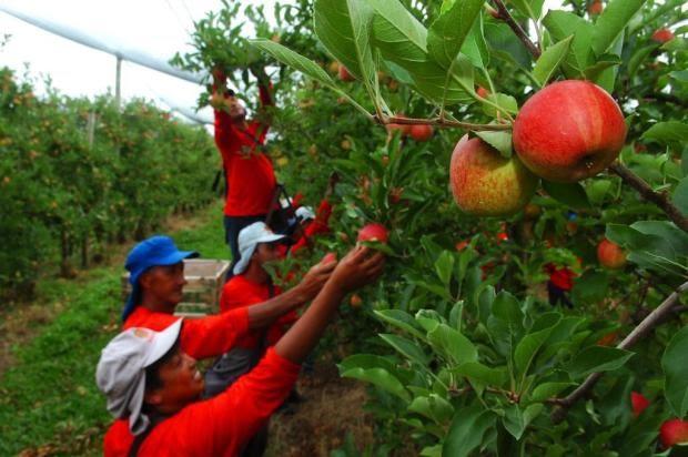 Colheita de maçã em SC e RS gera emprego para 5 mil índios de MS