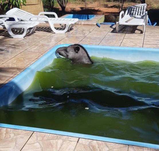 Moradora flagra anta nadando na piscina e aciona Polícia Ambiental