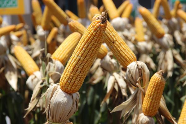 Prorrogado prazo para cadastramento de áreas para plantio de milho