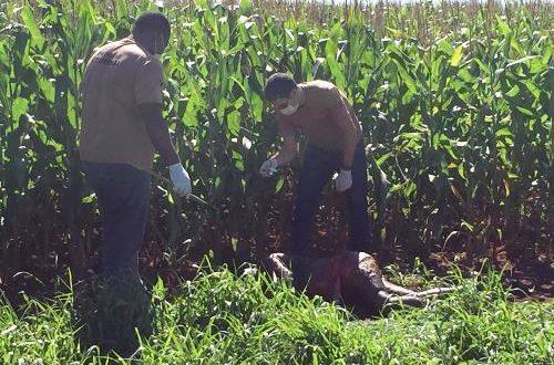 Garota grávida executada a tiros e corpo desovado em milharal