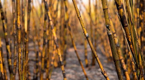 Queima da palha de cana está proibida em Mato Grosso do Sul