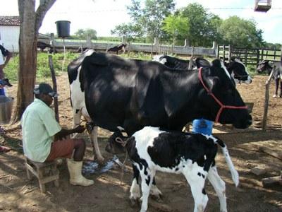 Principal atividade econômica dos estabelecimentos da agricultura familiar é a criação de bovinos